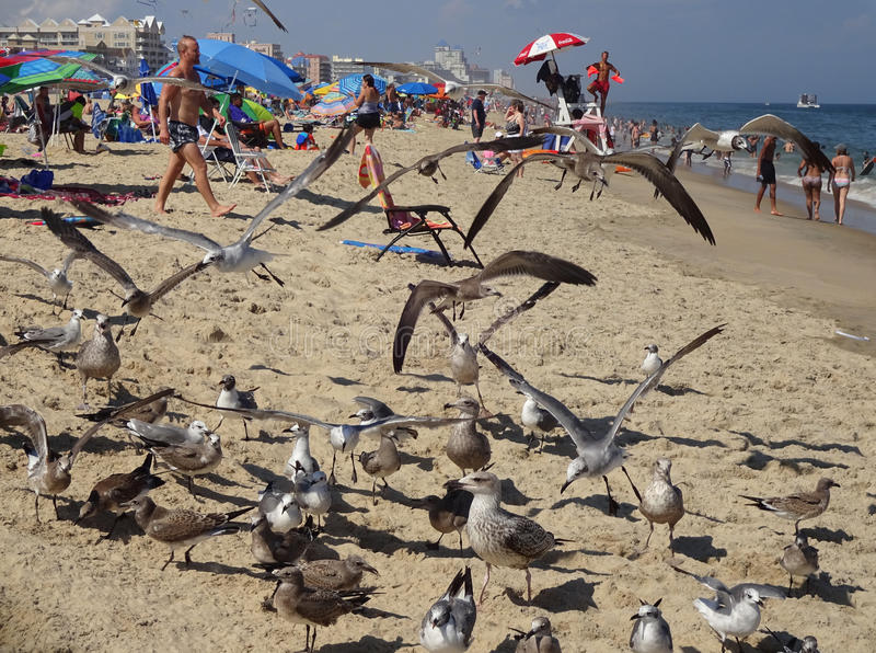 Seagulls at the Seashore. Photo of seagulls at the beach in ocean city maryland on 8/17/16. Record heat had many people flocking to the seashore to cool off royalty free stock photography