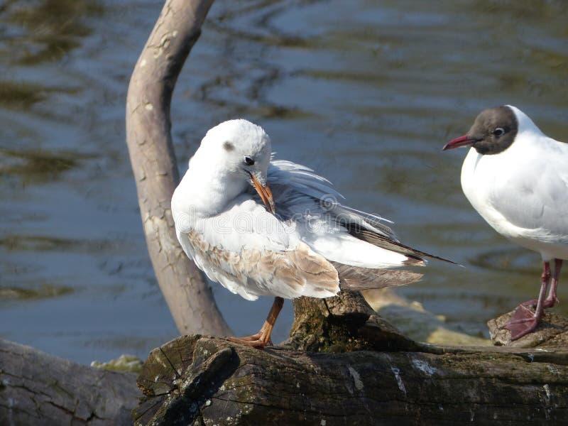 Seagulls. Shot with a Lumix DMC-FZ200 royalty free stock images