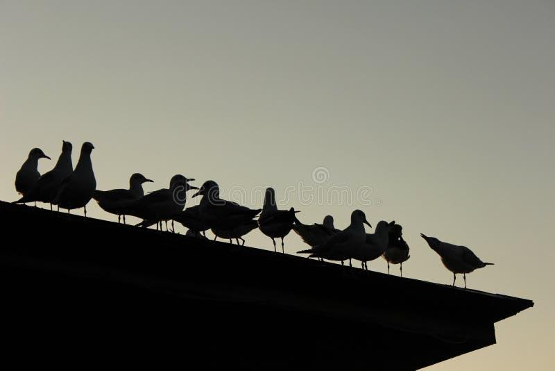 Seagulls silhouete obraz royalty free