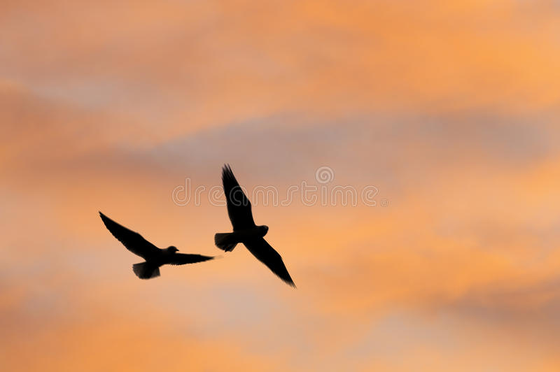 Seagulls silhouette royalty free stock photography