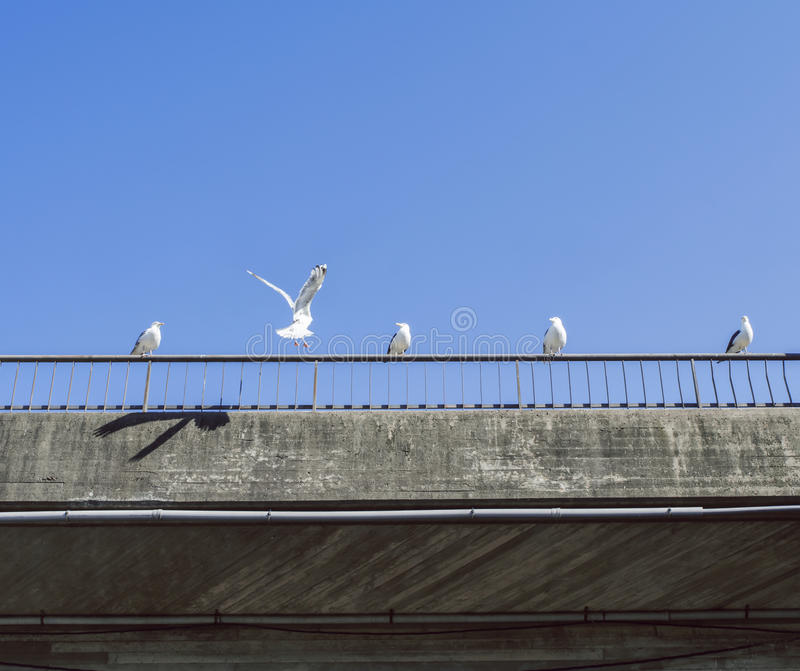 Seagulls sitting on a concrete bridge railing a beautiful summer day. Seagulls sitting on a concrete bridge railing a beautiful, blue summer day. One just about stock images