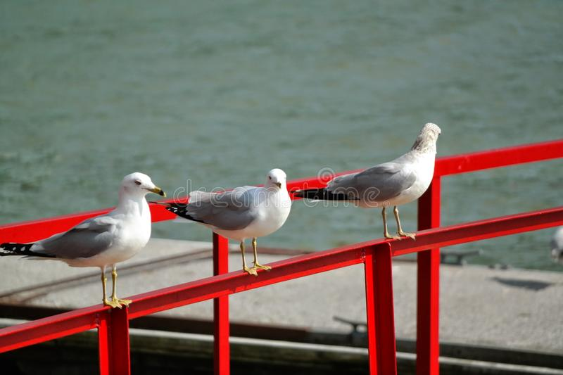 Seagulls sitting on the dock by the Tennessee river royalty free stock image