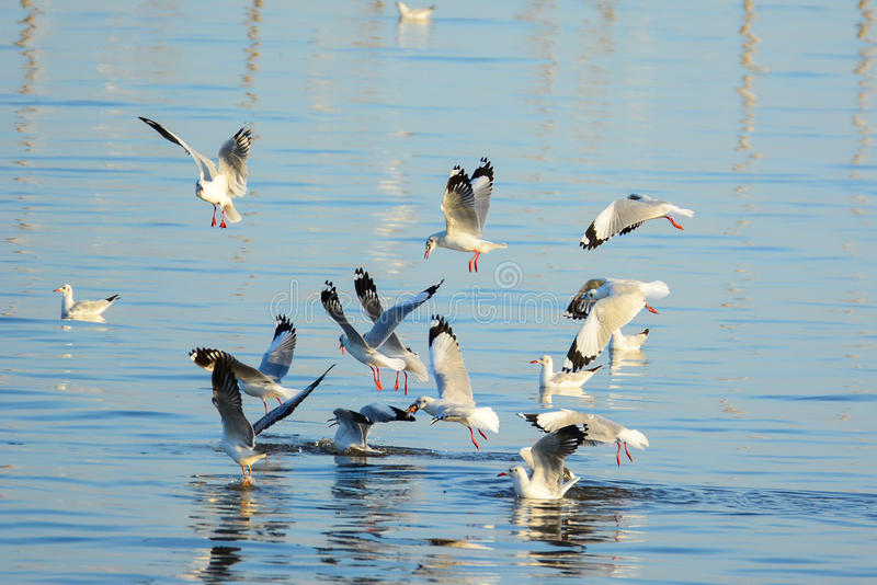 Seagulls are snatching food on the surface of the sea. At Bangpu recreation center, Samutprakan, Thailand royalty free stock photography