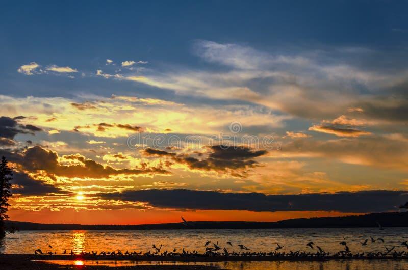 Seagulls som flyger över Waskesiu sjön i sommarsolnedgång royaltyfria bilder