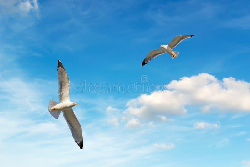 Seagulls som flyger i himlen arkivfoton
