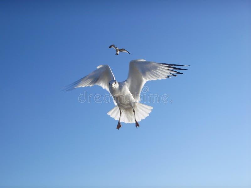 Seagulls som flyger i himlen på Brighton Beach royaltyfri foto