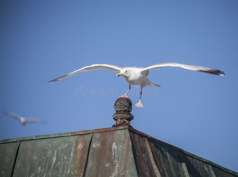 Seagulls som flyger mot en blå himmel - en landar royaltyfri foto