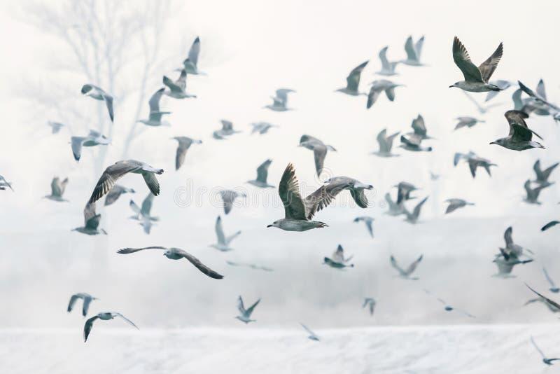 Seagulls som flyger nära kust fotografering för bildbyråer