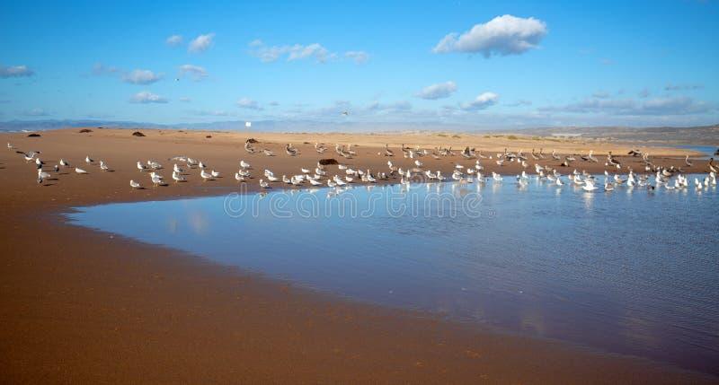 Seagulls som flyger på halvön mellan den Stillahavs- och Santa Maria floden på Rancho Guadalupe Sand Dunes på den centrala kusten arkivbild