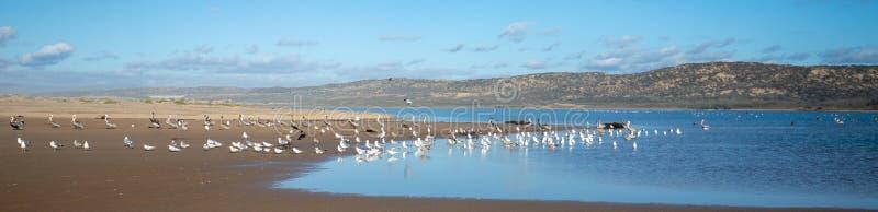 Seagulls som flyger på halvön mellan den Stillahavs- och Santa Maria floden på Rancho Guadalupe Sand Dunes på den centrala kusten arkivbilder