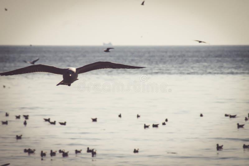 Seagulls som flyger på små vita moln för solnedgångvaniljhimmel över bakgrunden för natur för havssinneslugn den härliga arkivbild