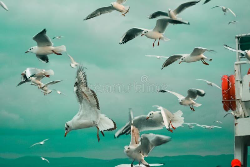 Seagulls som flyger runt om färjan arkivbild