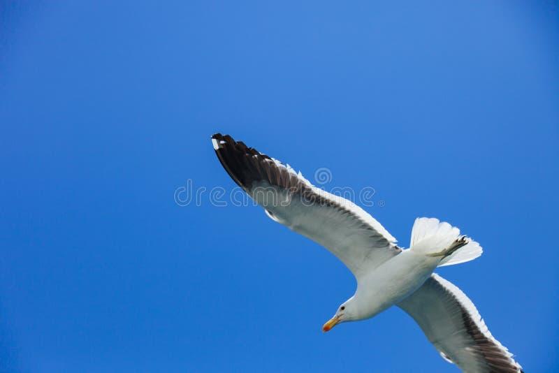 Seagulls som högt flyger i den blåa luften som vinkar deras vingar över th arkivbild
