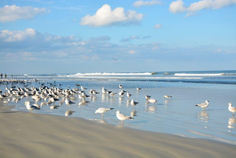 Seagulls som kopplar av på den härliga stranden fotografering för bildbyråer