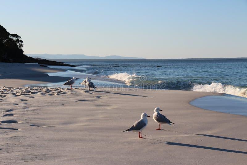 Seagulls som kyler på squeeky sand arkivfoton