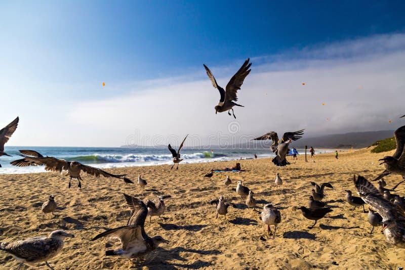 Seagulls som matar mitt--luft på stranden i Half Moon Bay i Kalifornien royaltyfria foton