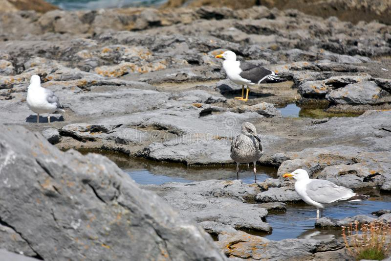 Seagulls som sitter på en vagga royaltyfria foton