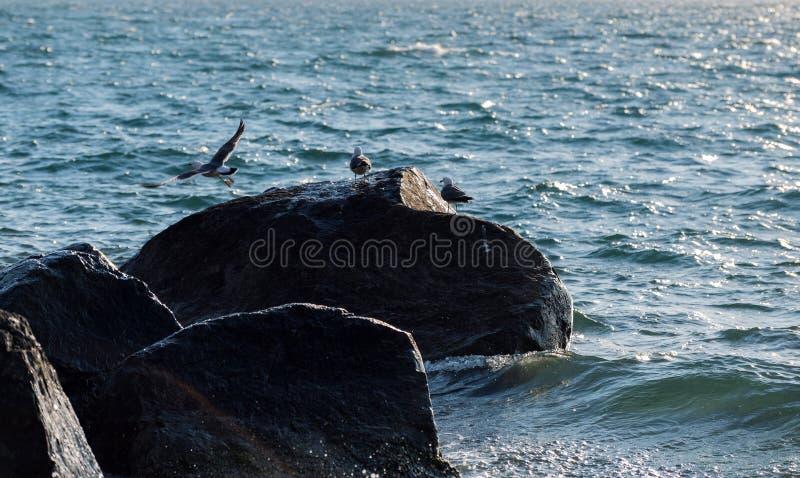Seagulls som sitter på, vaggar fotografering för bildbyråer