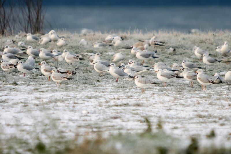 Seagulls som står på kust royaltyfria foton