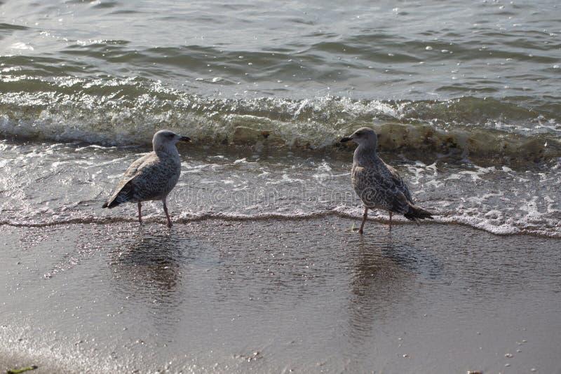Seagulls som står på kusten arkivfoton