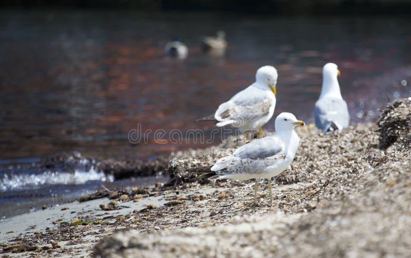 Seagulls som står på kusten royaltyfri foto
