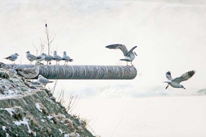 Seagulls som står på röret royaltyfri fotografi