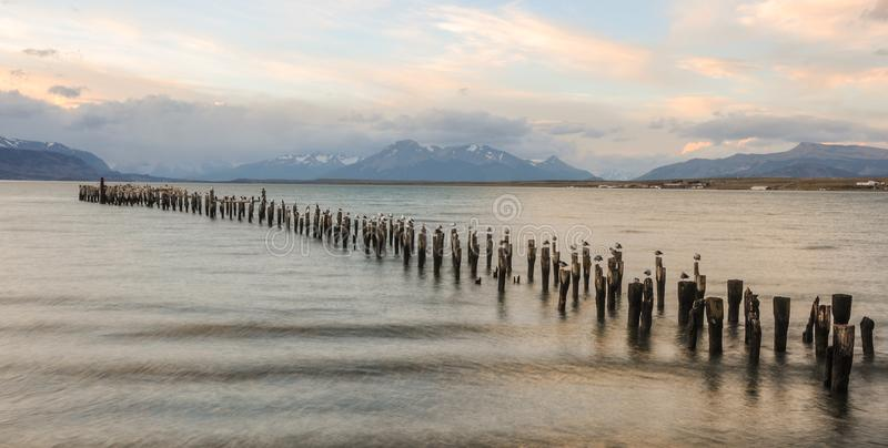 Seagulls som står på trä, loggar in havet Gammalt däck i Puerto Natales, Chile royaltyfria foton