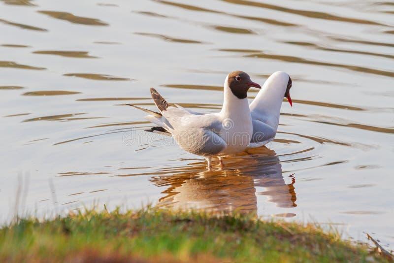 Seagulls on spring lake dance mating dances stock photography
