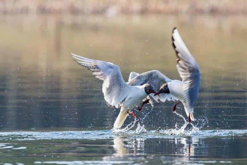 Seagulls on a spring lake fight in flight stock photos