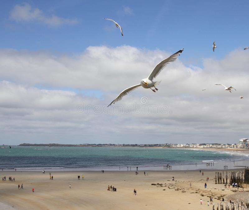 Seagulls on St Malo beach at low tide. Seagulls in flight over the beach at St Malo at low tide stock photos