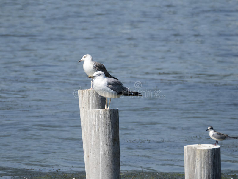 Seagulls standing on posts royalty free stock image