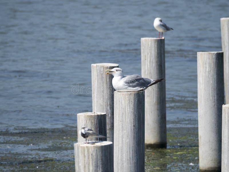 Seagulls standing on posts stock photos