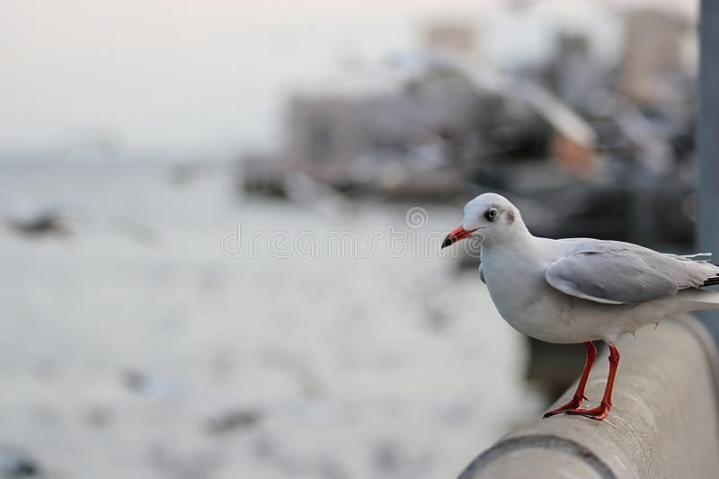Seagulls standing on stone fence on the seaside Science name is Charadriiformes Laridae . Selective focus and shallow depth of. Field stock photos