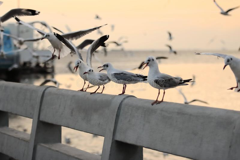 Seagulls standing on stone fence on the seaside Science name is Charadriiformes Laridae . Selective focus and shallow depth of. Field royalty free stock photos