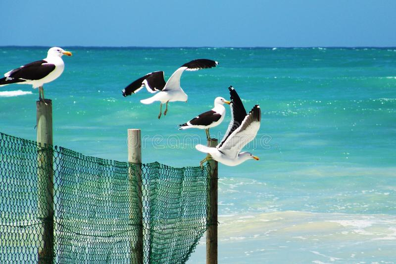 Seagulls Standing on a Wooden Fence Near a Beach royalty free stock image