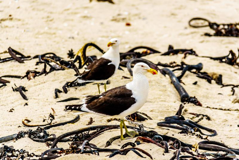 Seagulls at Strandfontein beach on Baden Powell Drive between Macassar and Muizenberg near Cape Town stock photography