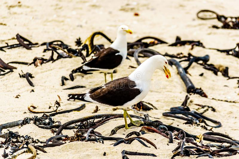 Seagulls at Strandfontein beach on Baden Powell Drive between Macassar and Muizenberg near Cape Town royalty free stock image