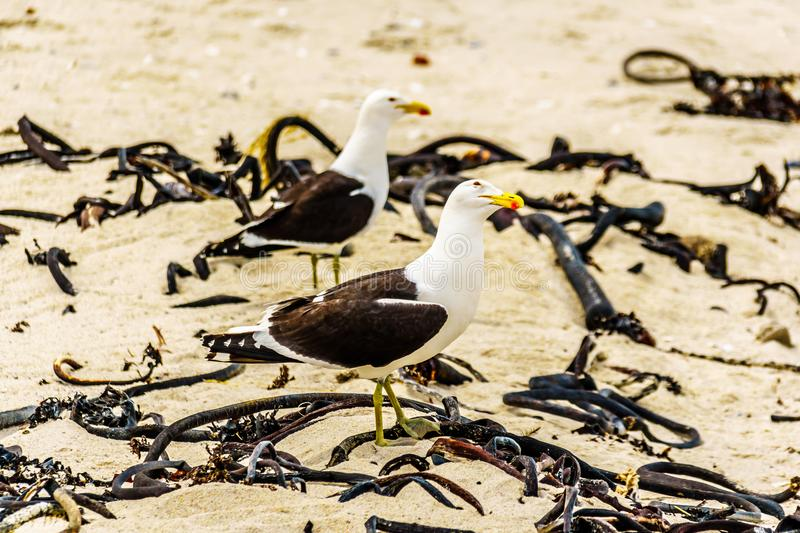 Seagulls at Strandfontein beach on Baden Powell Drive between Macassar and Muizenberg near Cape Town royalty free stock photo