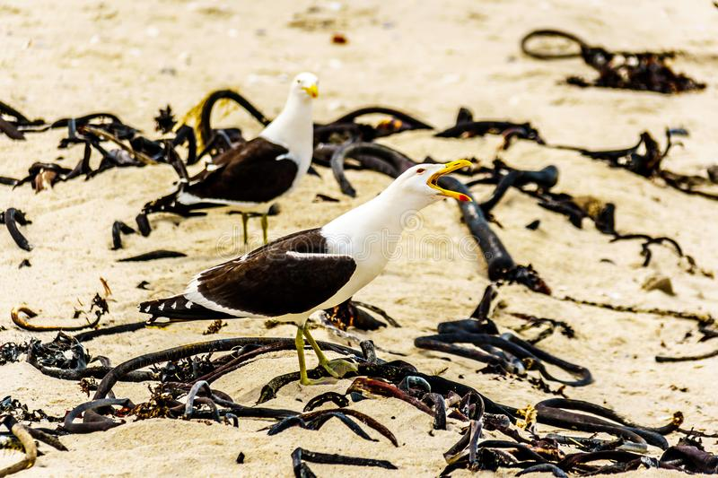Seagulls at Strandfontein beach on Baden Powell Drive between Macassar and Muizenberg near Cape Town stock photography