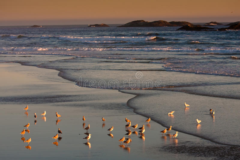 Seagulls during the sunset of Pacific Rim royalty free stock photo