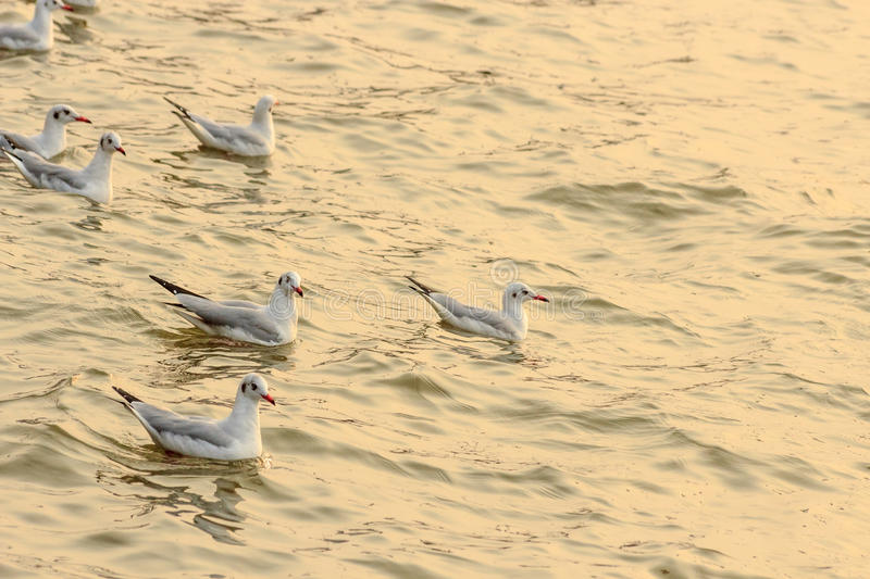 Seagulls in the sunset royalty free stock image