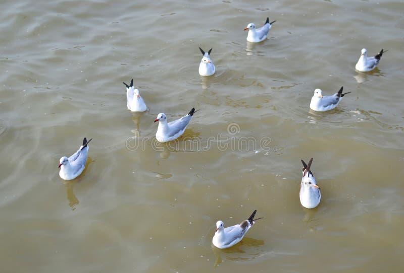 Seagulls swim in the sea. To feed the food Bangpu recreation center, Samutprakarn Province stock photo