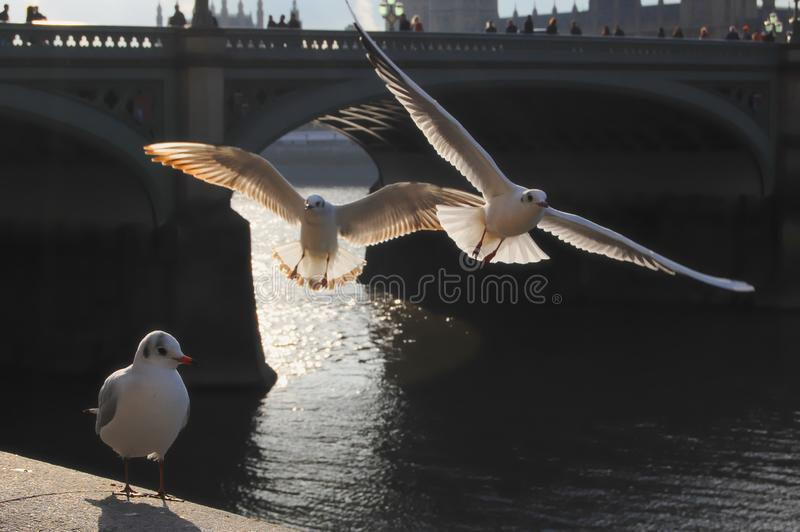 Seagulls by the Thames in the afternoon stock image