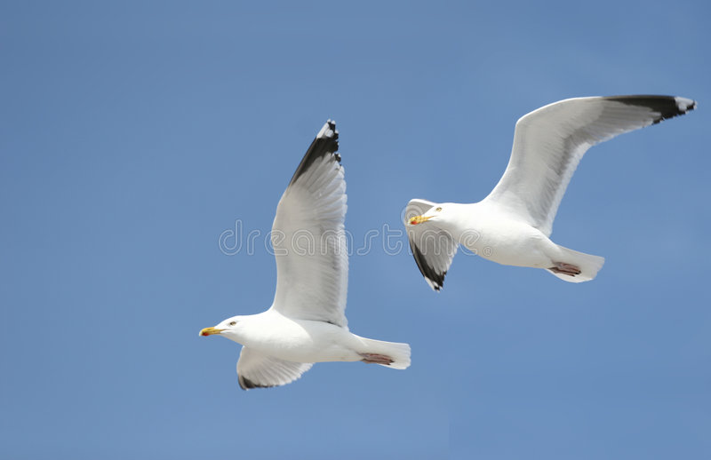 seagulls två royaltyfri bild