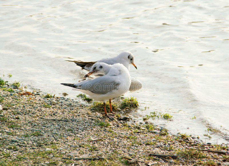 Seagulls. Two Seagulls on Gravel Seashore stock image