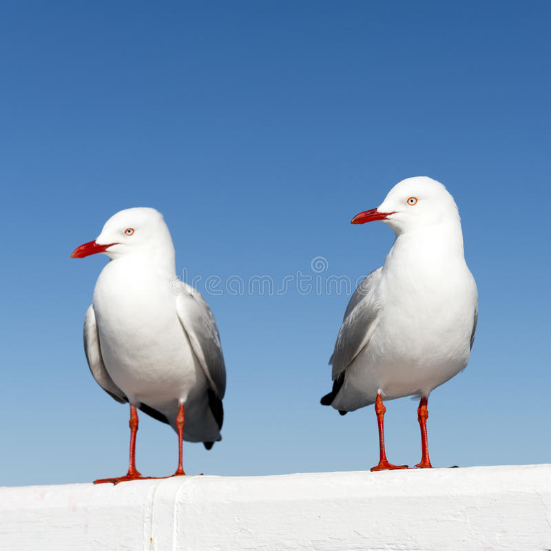 Seagulls. Two seagulls sitting on a white railing at the ocean royalty free stock image