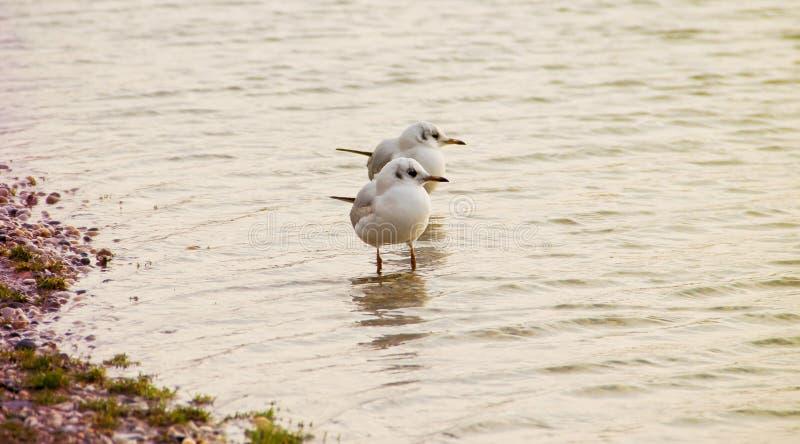 Seagulls. Two Small Seagulls on Seashore stock photos