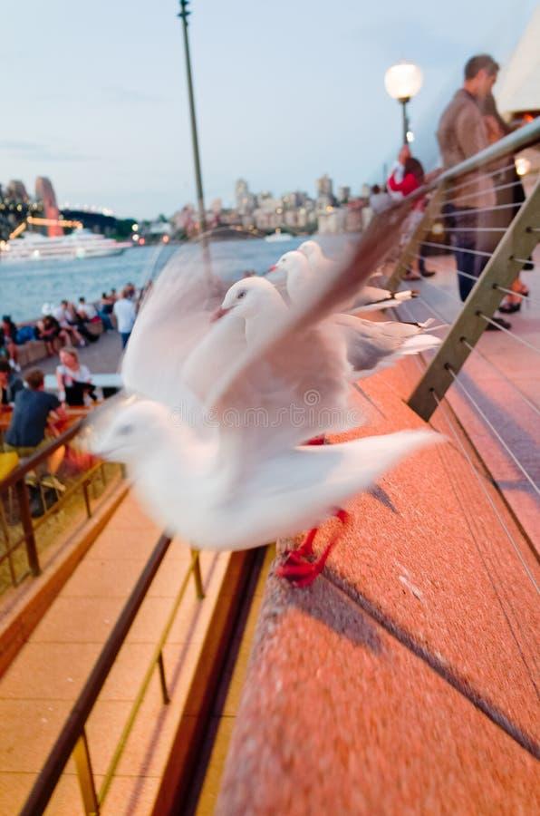 Seagulls utanför Sydney Opera House på skymning royaltyfri bild