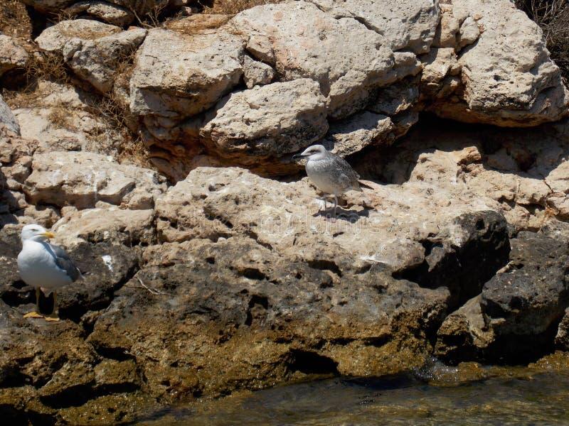 Seagulls vaggar på royaltyfri foto