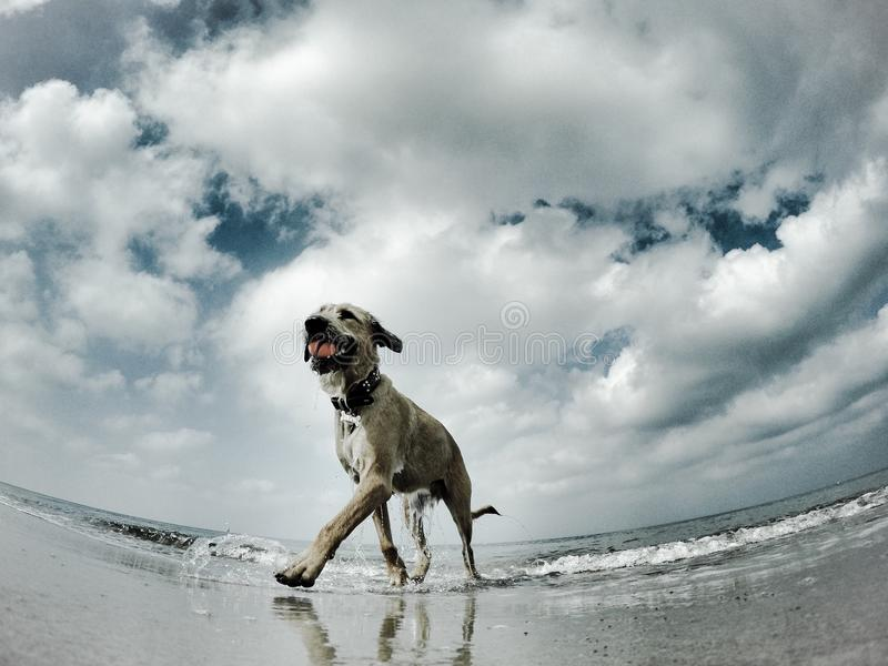 Seagulls view to a dog. A seagulls view to a dog which is coming out of the ocean with a ball in its mouth. The water is dripping out of its coat. It is a